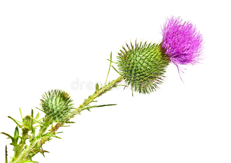 How To Get Rid Of Thistle Naturally